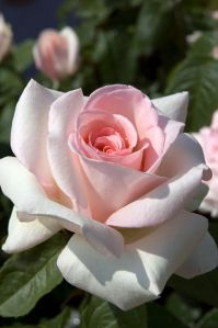 pink rose beautiful